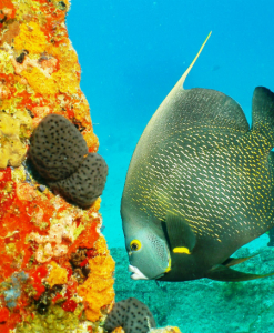 French angelfish at Rhone dive site