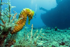 Seahorse at the Wreck of the RMS Rhone